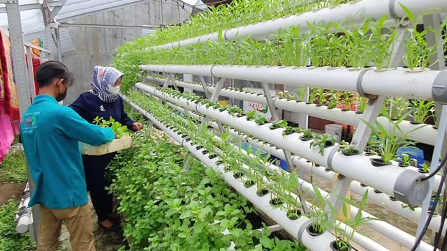 indonesians harvest vegetables from the hydroponics system on june 18, 2021 in surabaya, indonesia. hydroponics enable people to grow food without... - agriculture stock videos & royalty-free footage