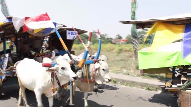indonesians take part in oxcart racing at the maguwoharjo stadium during the 2014 oxcart festival in sleman yogyakarta indonesia oxcart drivers... - 牛車点の映像素材/bロール