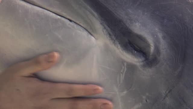 indo-pacific bottlenose dolphin / south korea - cetacea stock videos & royalty-free footage