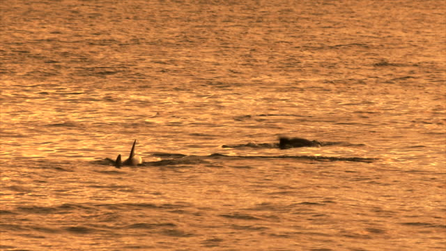 indo-pacific bottlenose dolphin swimming at the sunset yellow sea of jeju-do island / jeju-do, south korea - tursiope video stock e b–roll