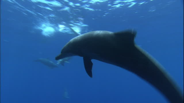 vídeos de stock e filmes b-roll de indo-pacific bottlenose dolphins play in near the surface of the ocean. - roaz