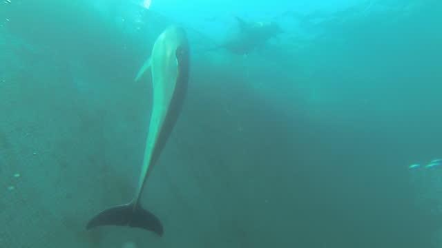 indo-pacific bottlenose dolphins swimming in inclosing net at sea / jeju-do, south korea - däggdjur bildbanksvideor och videomaterial från bakom kulisserna