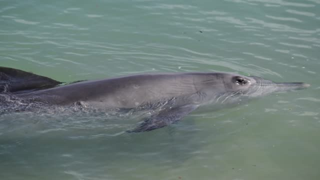 indo-pacific bottlenose female dolphin and cob at shark bay in western australia - monkey mia stock videos & royalty-free footage