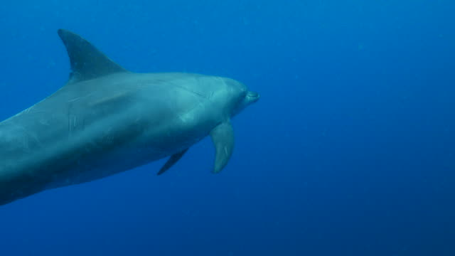 indo-pacific bottle-nosed dolphin, swimming, undersea, japan - bottle nosed dolphin stock videos & royalty-free footage
