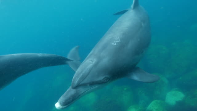 indo-pacific bottle-nosed dolphin swimming undersea - bottle nosed dolphin stock videos & royalty-free footage