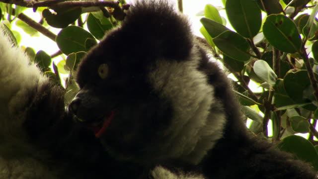 indri eating leaves, madagascar - インドリ点の映像素材/bロール