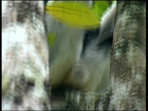 indri, indri indri,  andasibe ( perinet ) - インドリ点の映像素材/bロール