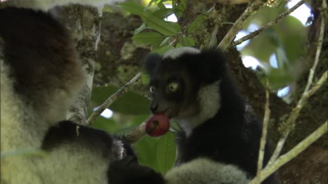 indri lemur (indri indri) and young eat fruit in forest, madagascar - インドリ点の映像素材/bロール