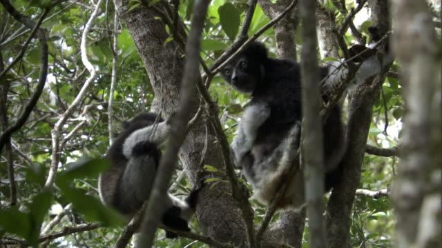 indri lemur (indri indri) and young in forest, madagascar - インドリ点の映像素材/bロール