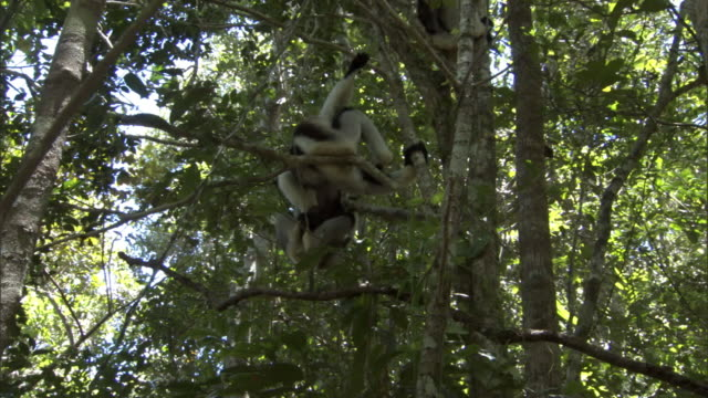 Indri lemur (Indri indri) and young wrestle in forest, Madagascar