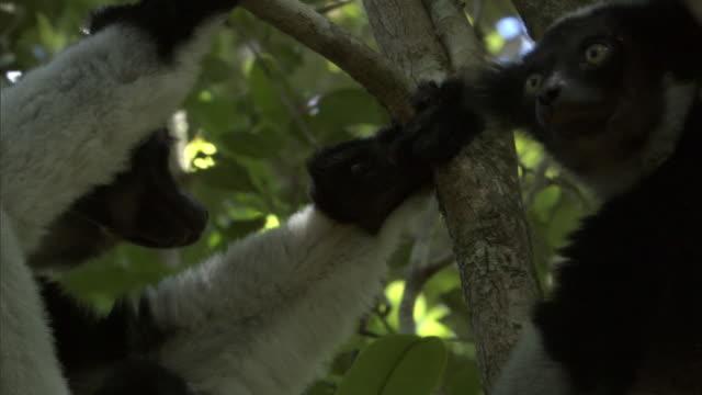 indri lemur (indri indri) and young wrestle in forest, madagascar - インドリ点の映像素材/bロール