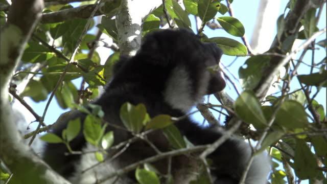 indri lemur (indri indri) calls in tree, madagascar - インドリ点の映像素材/bロール
