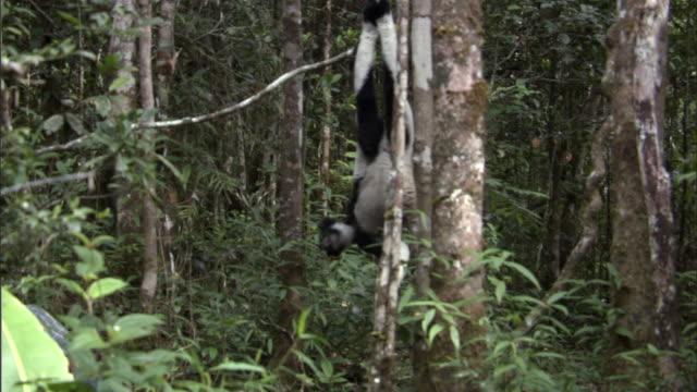 indri lemur (indri indri) dangles upside down in forest, madagascar - インドリ点の映像素材/bロール