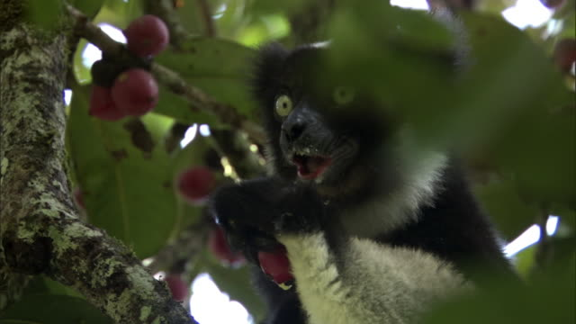 indri lemur (indri indri) eats fruit in forest, madagascar - feeding stock videos & royalty-free footage