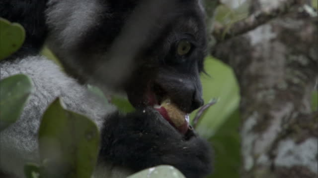 indri lemur (indri indri) eats fruit in forest, madagascar - fruit stock videos & royalty-free footage