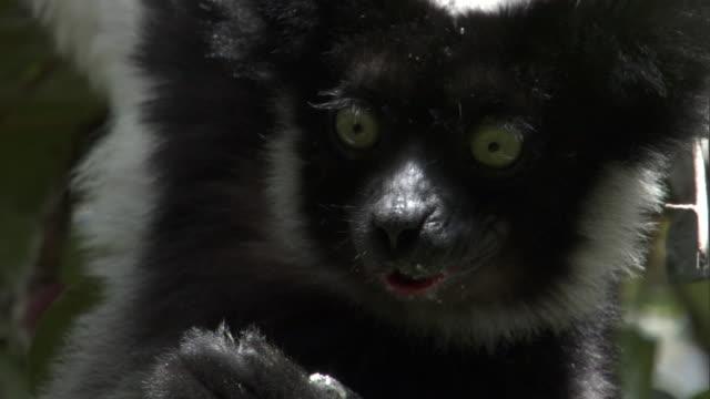indri lemur (indri indri) eats fruit in tree, madagascar - インドリ点の映像素材/bロール