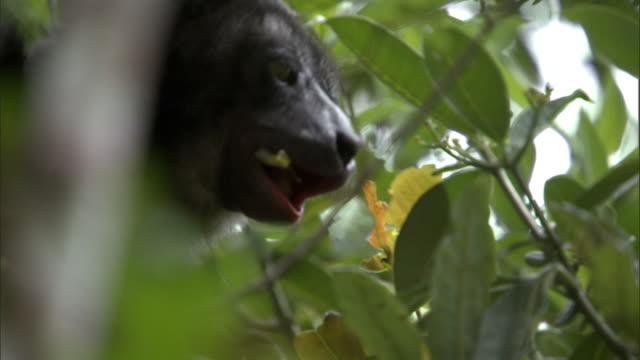 indri lemur (indri indri) eats leaves in forest, madagascar - インドリ点の映像素材/bロール
