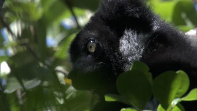 indri lemur (indri indri) grooms and looks around in forest, madagascar - インドリ点の映像素材/bロール