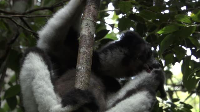 indri lemur (indri indri) grooms in forest, madagascar - インドリ点の映像素材/bロール
