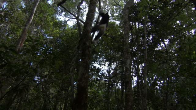 indri lemur (indri indri) leaps between trees, madagascar - インドリ点の映像素材/bロール