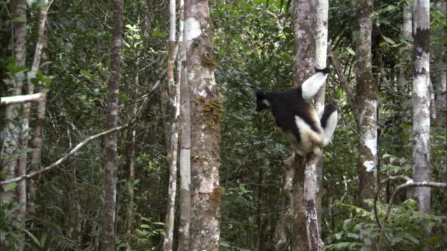 indri lemur (indri indri) leaps between trees, madagascar - fähigkeit stock-videos und b-roll-filmmaterial