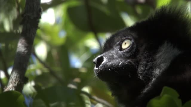 indri lemur (indri indri) looks around in forest, madagascar - インドリ点の映像素材/bロール
