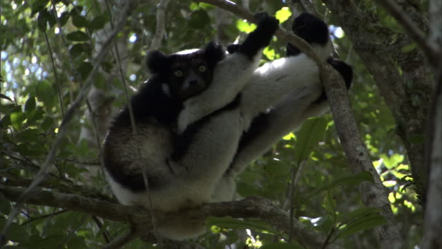 indri lemur (indri indri) rests and dozes in tree, madagascar - インドリ点の映像素材/bロール