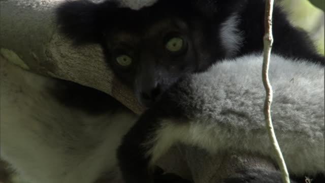 indri lemur (indri indri) rests in tree, madagascar - インドリ点の映像素材/bロール