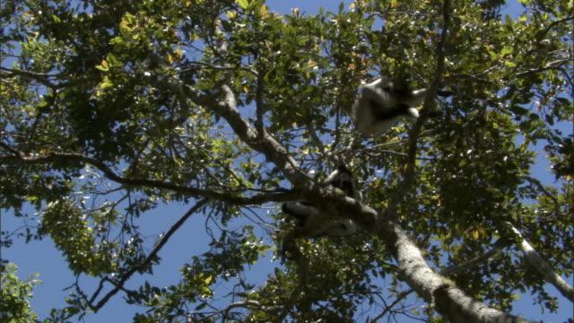 indri lemurs (indri indri) feed in tree, madagascar - インドリ点の映像素材/bロール