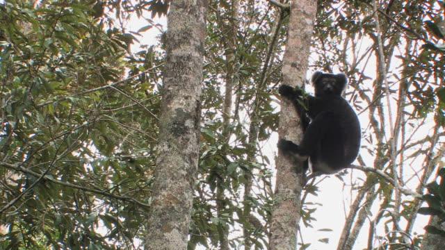 ms, la, indri (indri indri) sitting in tree, andasibe-mantadia national park, toamasina province, madagascar - インドリ点の映像素材/bロール