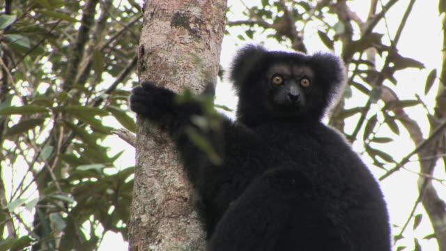 cu, indri (indri indri) sitting in tree, andasibe-mantadia national park, toamasina province, madagascar - インドリ点の映像素材/bロール