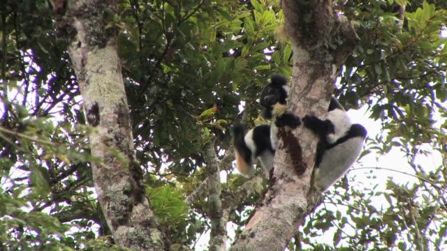 ms, la, indri (indri indri) sitting in tree, toamasina province, madagascar - インドリ点の映像素材/bロール