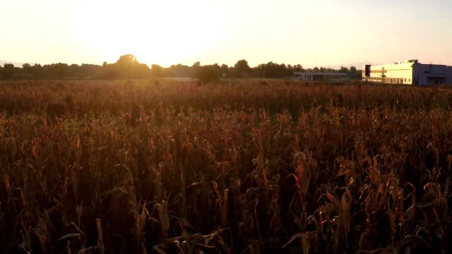 Industrial Corn Farming