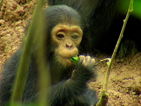 cu, infant chimp (pan troglodytes) sitting on ground and eating twig, gombe stream national park, tanzania - twig stock videos & royalty-free footage
