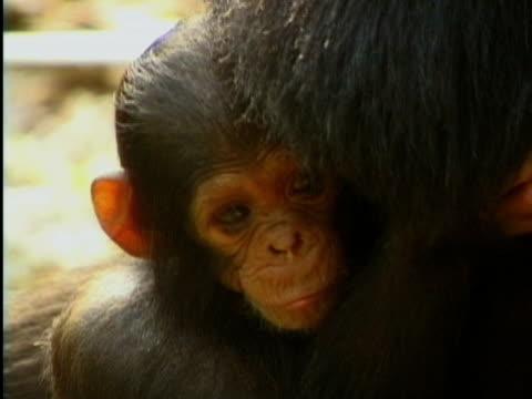 vídeos y material grabado en eventos de stock de cu, infant chimp (pan troglodytes) with mother, gombe stream national park, tanzania - parque nacional de gombe stream