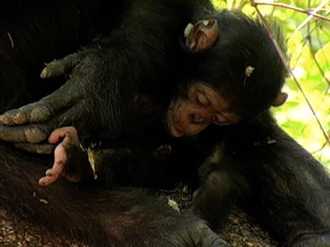 vídeos y material grabado en eventos de stock de cu, infant chimp (pan troglodytes) with mother, gombe stream national park, tanzania - chimpancé común