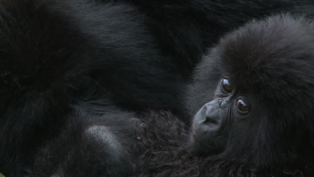 infant gorilla and mother - male animal stock videos & royalty-free footage