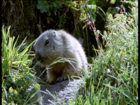 Infant marmot sniffs at grass outside burrow, Swiss Alps