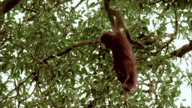 Infant orangutans playing together in the trees