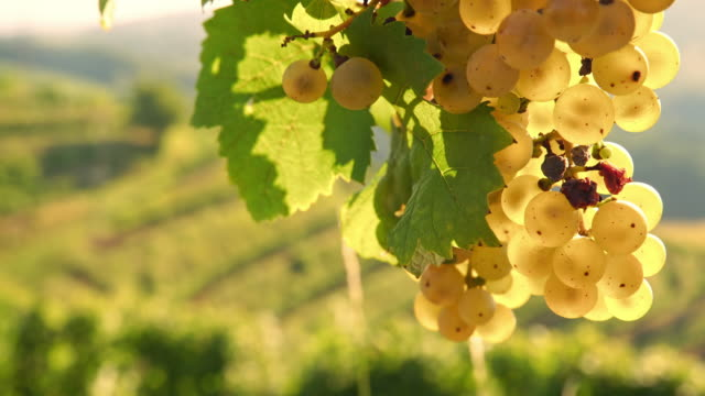 DS Infected grapes with disease