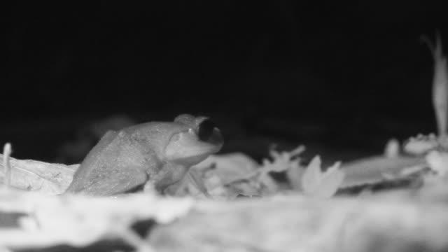 vídeos y material grabado en eventos de stock de infrared frog on forest floor. - java