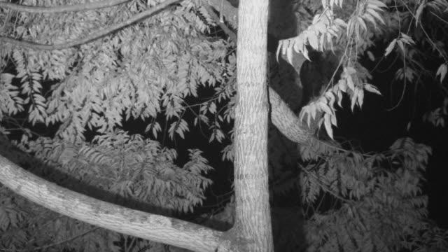 vídeos y material grabado en eventos de stock de infrared palm civet climbs through tree branches. - java