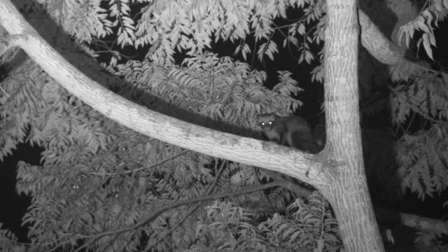 vídeos y material grabado en eventos de stock de infrared palm civet sits in fork of tree. - java