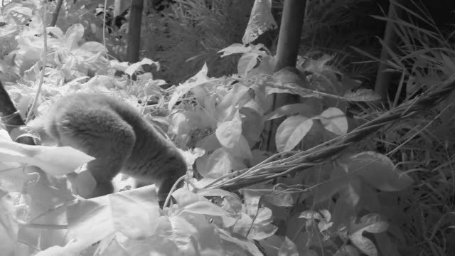 Infrared Slow Loris in captivity clambers through foliage.