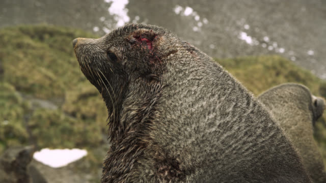 vídeos de stock e filmes b-roll de injured antarctic fur seal looks around, south georgia - ilha geórgia do sul