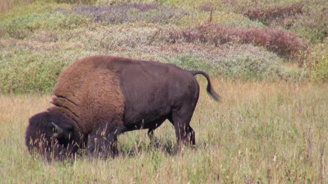 injured bison: walking, tail- swaying, grazing - prairie stock videos and b-roll footage