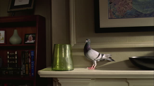 WS Injured Columba livia on mantle as while flowers are dropped into vase