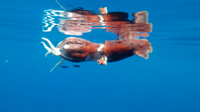 injured giant squid in it's last moments of life floating at the surface. it most likely had escaped an attack from a sperm whale overnight. it's siphon has almost been completely detached in the attack. a school of pilot fish is using it for shelter. - pilot fish stock videos & royalty-free footage