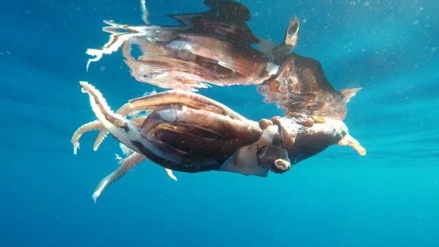 injured giant squid in it's last moments of life floating at the surface. it most likely had escaped an attack from a sperm whale overnight. it's siphon has almost been completely detached in the attack. pelagos sanctuary, ligurian sea, northern italy. - cuttlefish stock videos & royalty-free footage