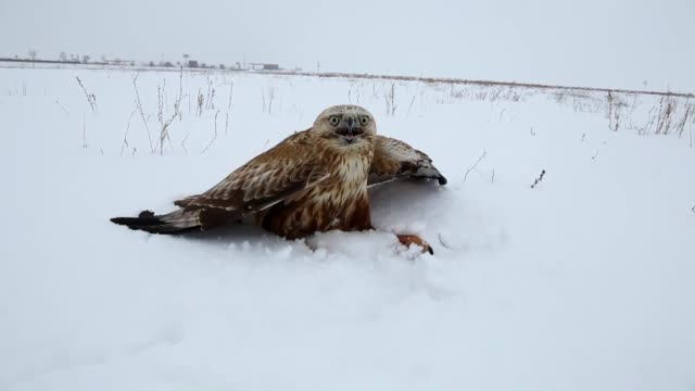 injured longlegged buzzard found by residents on the roadside as harsh winter conditions put both residents and wild animals to trouble in konya... - konya stock videos and b-roll footage